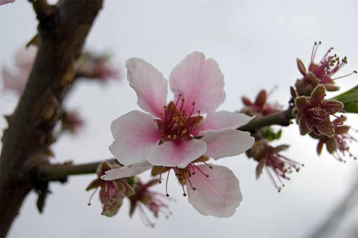 Kirschbaumblüte entlang der Deutschland Weinstraße