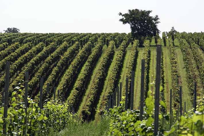 Weingarten in Rhodt unter Rietburg